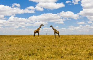 Giraffe nella Savana