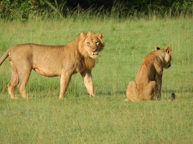 leoni in Uganda