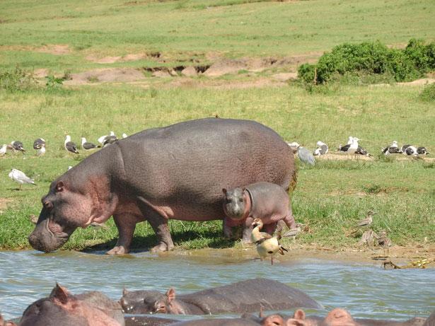 uganda - ippopotami