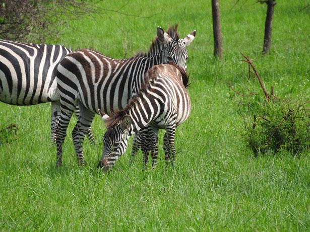 zebre in Uganda