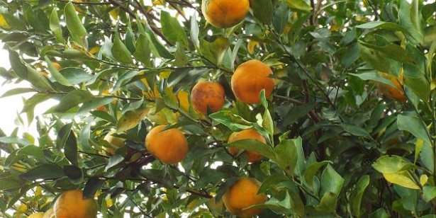 Melito di Porto Salvo: bergamotto